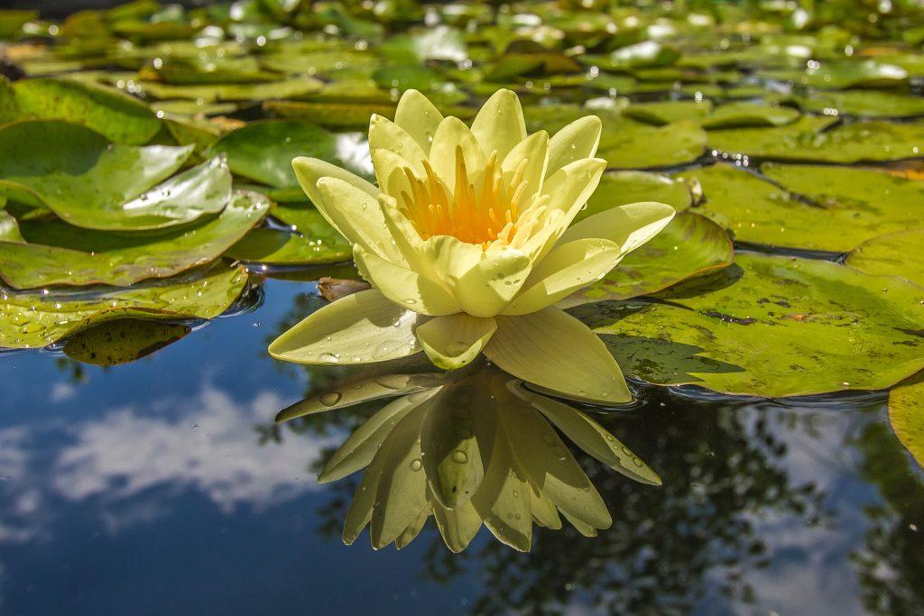 lotusense lotos żółte płatki