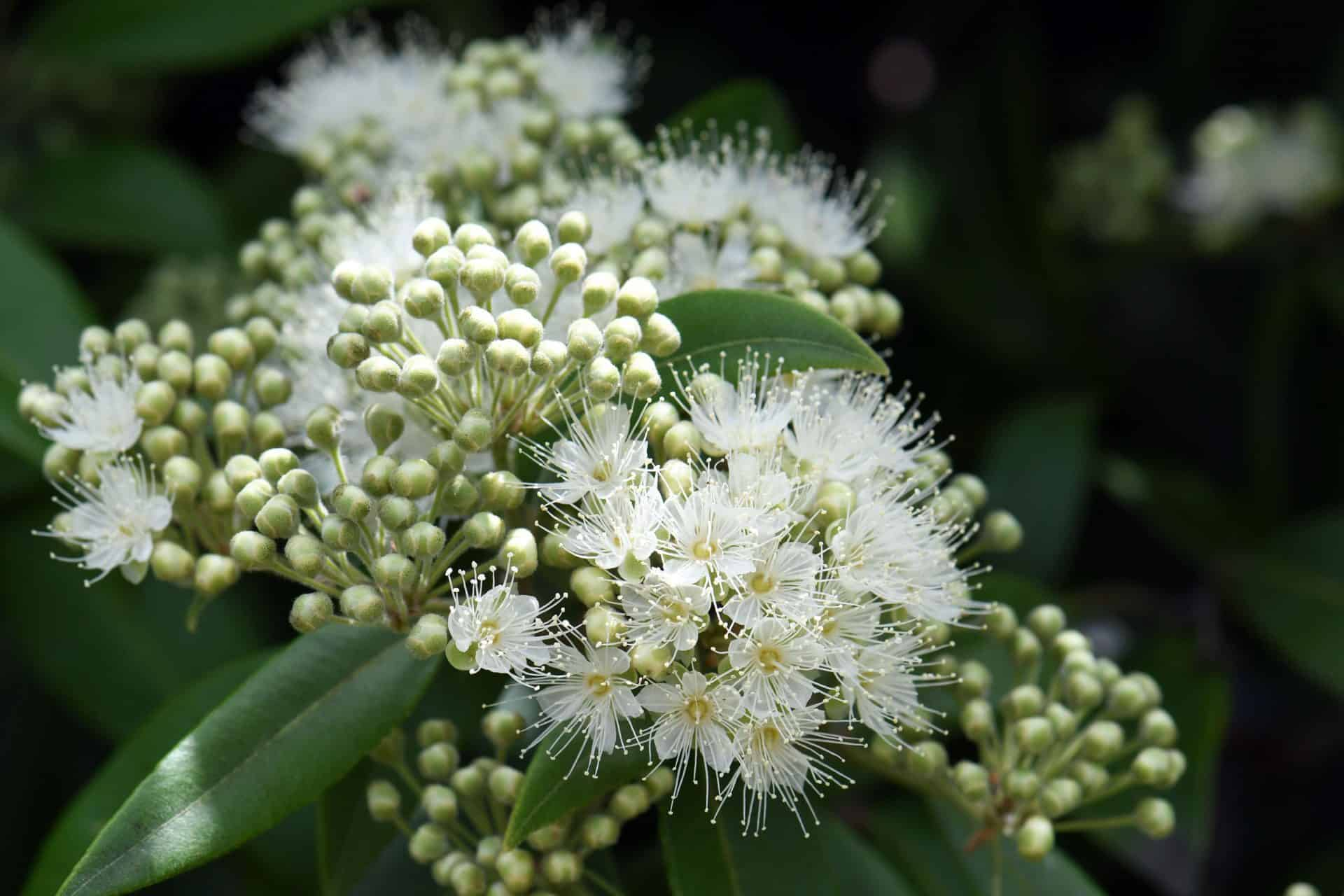 kwitnace biale kwiaty mirtu cytrynowego